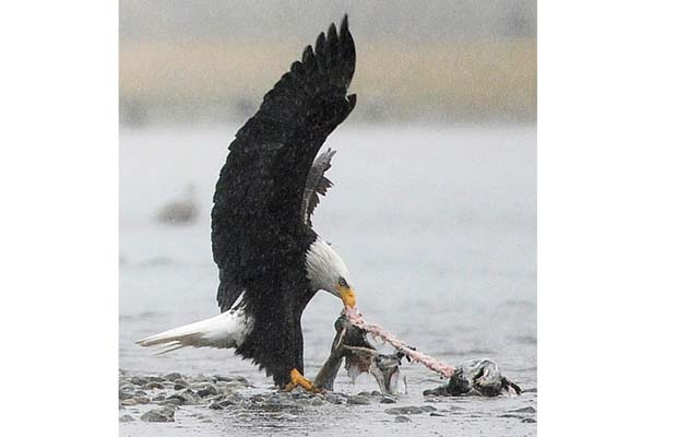 A bald eagle feeds on a dead salmon carcass on the Harrison River near Harrison Mills in the Fraser Valley November 17, 2010. Two eagle poachers will be serving their weekends in jail, must pay a fine, and are banned from possessing bird parts for three years, a judge decided at a sentencing hearing at the Duncan courthouse last week.