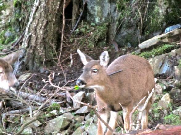 A deer in North Nanaimo shot through the neck with an arrow.