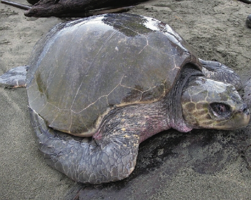 An olive ridley turtle washed up on Wickaninnish Beach (November, 2011)