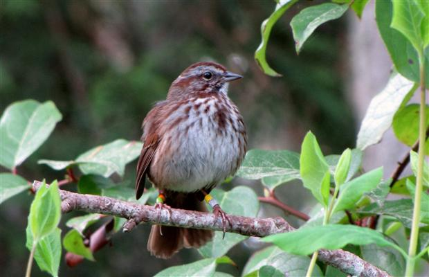 This song sparrow was part of a study that showed that simply hearing the calls and sounds of predators frightened the birds so much that they produced 40% fewer offspring.