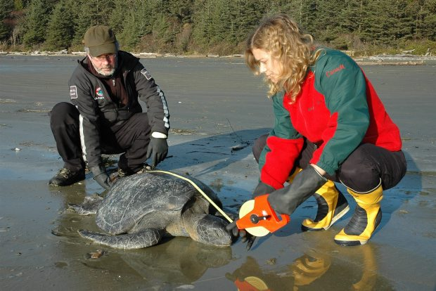 "Like the others, the third sea turtle found on a Pacific Rim National Park Reserve beach was in a ""cold-stunned"" state."