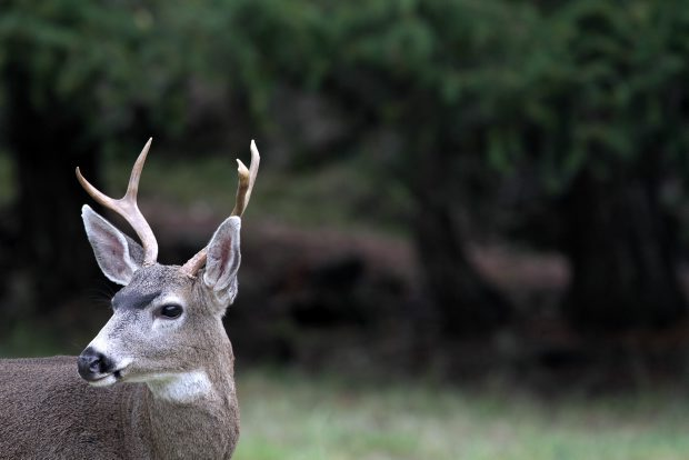 The growing population of deer in suburban areas is leading to conflicts with other animals.