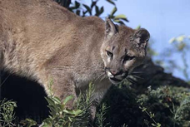 Cougars are common animals on Vancouver Island.