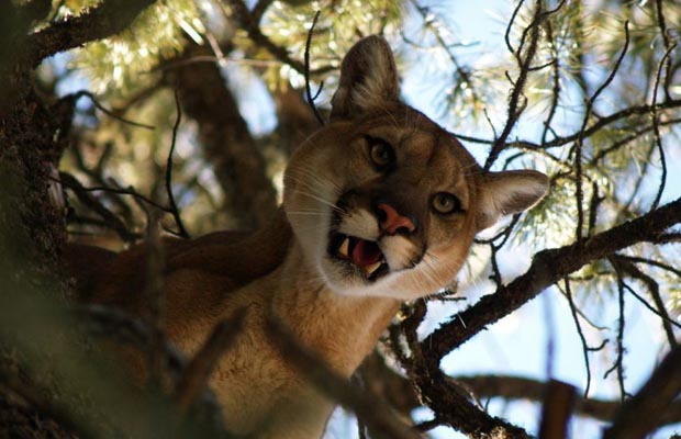 FILE PHOTO: Because of recent cougar sightings, police are warning residents in Saanich to take precautions.