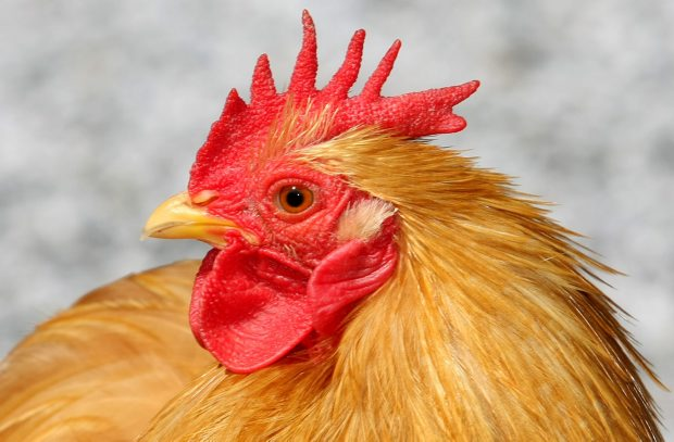 If Oak Bay follows Saanich, raising chickens will be allowed on lots of all sizes.