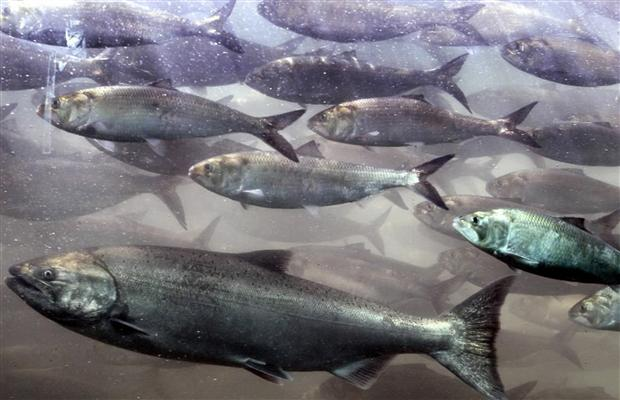 "A chinook salmon, along with a school of shad, pass through the viewing room at McNary Lock and Dam on the Columbia River, June 7, 2005 near Umatilla, Oregon. Fishermen in B.C. are worried about ""draconian"" restrictions on fishing for chinook salmon."