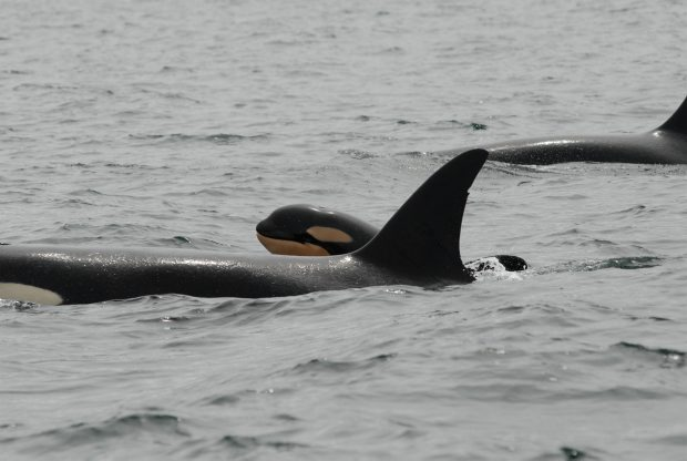 A baby southern resident killer whale raises its head out of the water as it swims with its mother in Juan de Fuca strait this week.