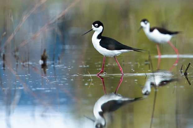 The black-necked stilts nesting at Maber Flats.
