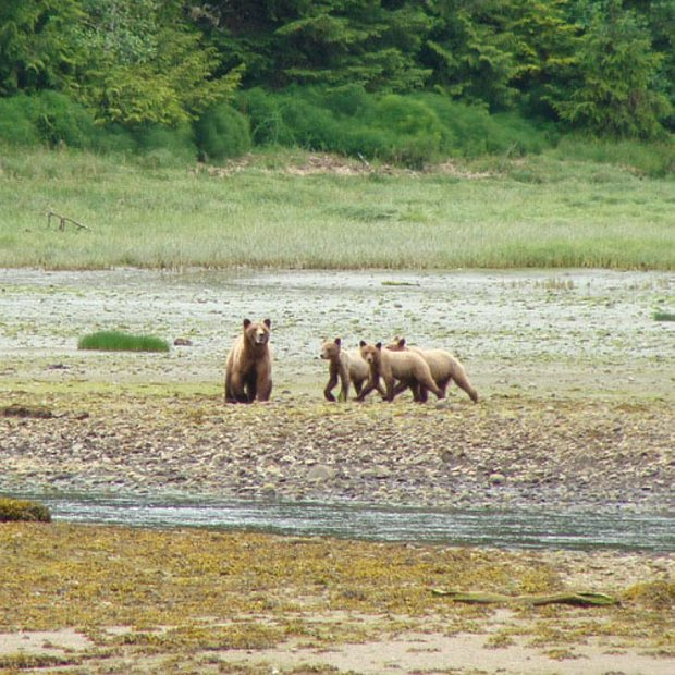A grizzly bear with cub in front of the Forward Harbour Lodge.