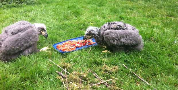 Two eagle chicks, believed to be the first in B.C. to hatch in captivity, share a meal at the Raptor Centre near Duncan after their squabbling parents separated