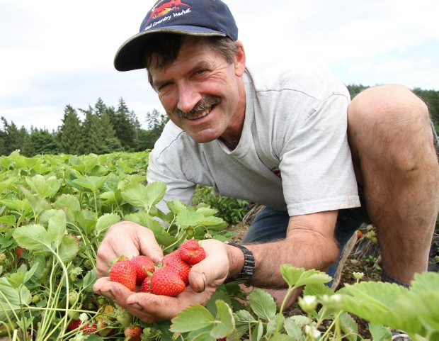 Dan Ponchet admires the first strawberries of the year at a field near his Saanichton market on Wednesday.