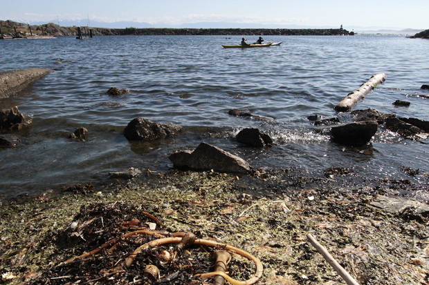 Sea lettuce in Esquimalt's West Bay area smells bad and looks worse: It can be mistaken for a sewage issue.