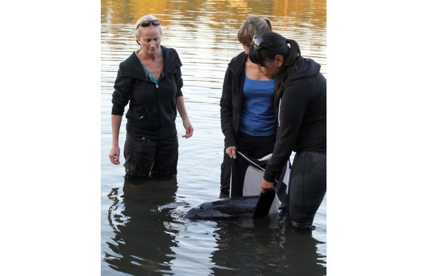Biologist Anna Hall, left, of the B.C. Marine Mammal Response Network, and volunteers Judi Fitzgerald and Desiree Holmes tend to an injured porpoise on Tuesday.