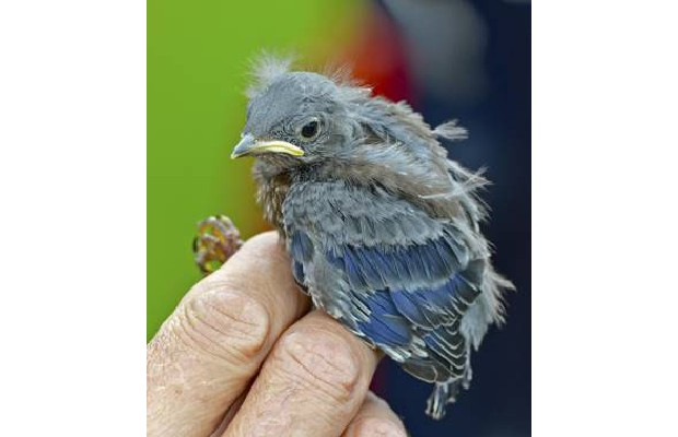Bands are fixed to the legs of the first Western bluebirds to hatch on Vancouver Island since 1995.