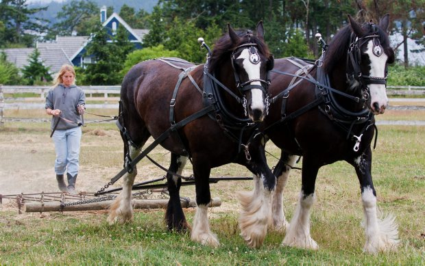Connie Wylie harrows a field with Clydesdale mares Quinn and Tagen at White House Stables on West Saanich Road. Her parents have put in 28 years of hard work on the farm.