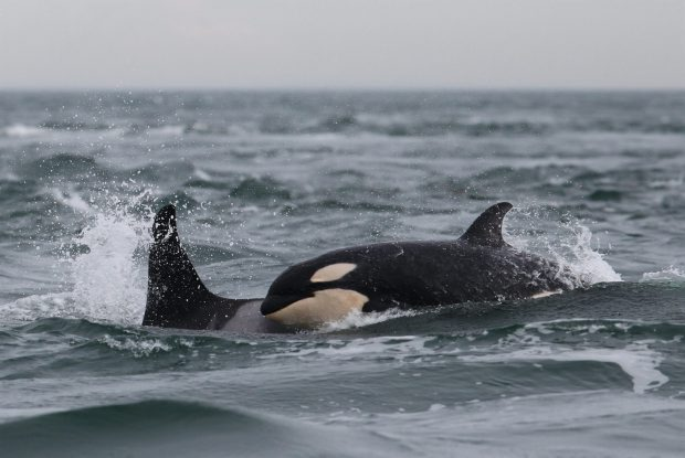 Southern resident killer whales spend much of their time off the coast of Vancouver Island.