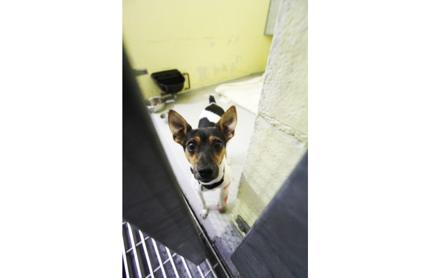 Molly, a one-year-old Jack Russell, ran around for at least a month with a broken leg. She needs surgery and is one of several injured animals in the SPCA's care.