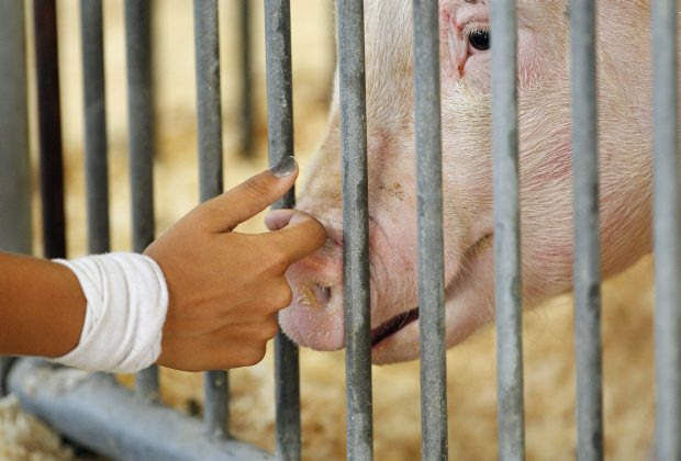 More than 200 people in the United States have become infected with the H3N2v flu strain. The outbreak has been linked to people touching pigs at fairs and petting zoos.